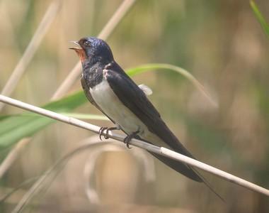 http://alsace.lpo.fr/Liste_oiseaux/fiches/580.jpg
