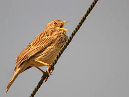 Corn Bunting - Photo Jean-Marc Bronner