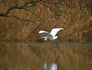 Grande aigrette - Photo Fabrice Roubert