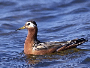 Phalarope à bec large - Photo Eric Buchel