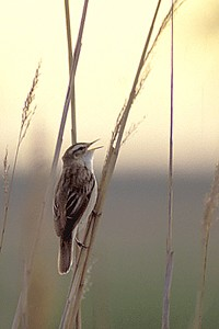 Sedge warbler - Photo Nicolas Buhrel