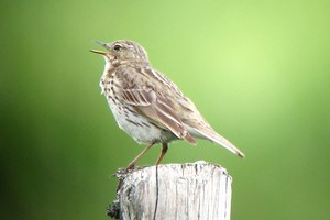 Pipit farlouse - Photo Brigitte Franiatte