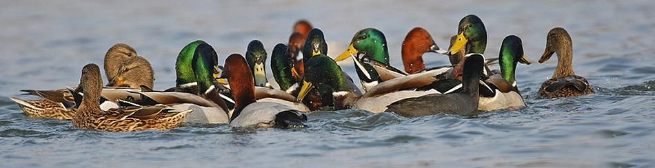 Canard colvert, fuligule milouin, foulque macroule - Photo de Marc Solari
